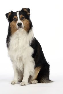 JD-20239 Australian Shepherd Dog