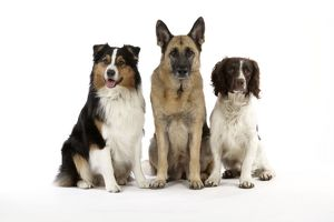 JD-20240 Australian Shepherd Dog / German Shepherd Dog / English Springer Spaniel Dog