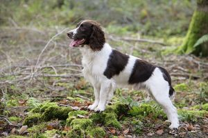 JD-20244 English Springer Spaniel Dog
