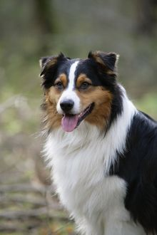 JD-20245 Australian Shepherd Dog