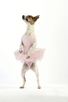 JD-20246 Jack Russell Terrier Dog - wearing a tutu