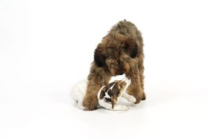 JD-20336 Dog - Puppies playing (Briard and Jack Russell)