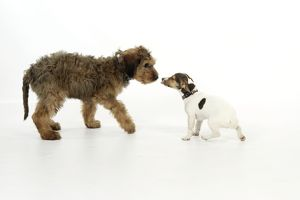 JD-20337 Dog - Puppies playing (Briard and Jack Russell)