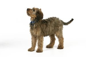 JD-20338 Dog - Puppy (Briard) with name tag on collar