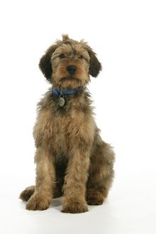 JD-20339 Dog - Puppy (Briard) with name tag on collar