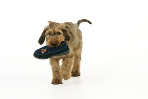 JD-20347 Dog - Puppy (Briard) carrying shoe in mouth