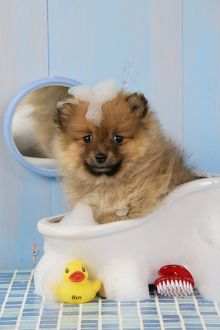 JD-20391 Dog. Pomeranian puppy in bath (10 weeks old)