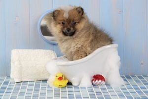 JD-20392 Dog. Pomeranian puppy in bath (10 weeks old)