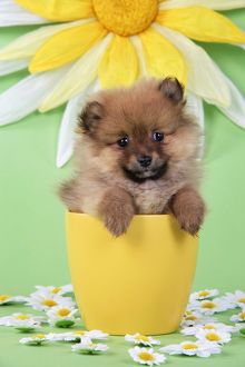 JD-20393 Dog. Pomeranian puppy in flower pot (10 weeks old)