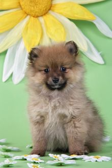 JD-20394 Dog. Pomeranian puppy infront of sunflower (10 weeks old)