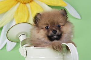 JD-20395 Dog. Pomeranian puppy sitting in watering can (10 weeks old)