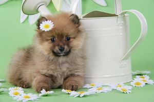 JD-20396 Dog. Pomeranian puppy sitting next to watering can with daisy on head (10