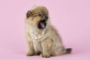 JD-20397 Dog. Pomeranian puppy (10 weeks old) wearing tiara