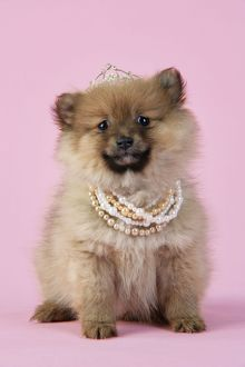 JD-20398 Dog. Pomeranian puppy (10 weeks old) wearing tiara and necklace