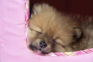 JD-20399 Dog. Pomeranian puppy (10 weeks old)