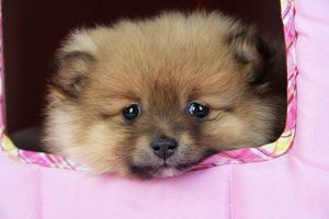 JD-20400 Dog. Pomeranian puppy (10 weeks old)