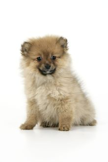 JD-20401 Dog. Pomeranian puppy (10 weeks old)