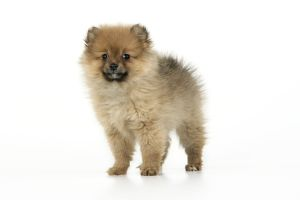JD-20402 Dog. Pomeranian puppy (10 weeks old)