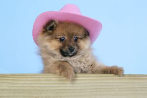 JD-20403 Dog. Pomeranian puppy (10 weeks old) wearing pink hat