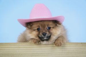 JD-20404 Dog. Pomeranian puppy (10 weeks old) wearing pink hat
