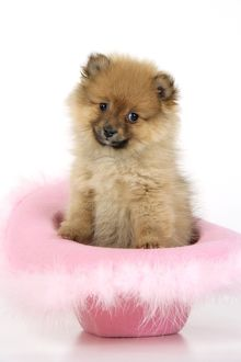 JD-20405 Dog. Pomeranian puppy (10 weeks old) sitting in pink hat