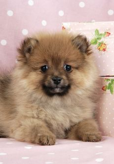 JD-20406-C Dog. Pomeranian puppy (10 weeks old) with pink suitcase
