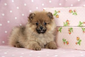 JD-20406 Dog. Pomeranian puppy (10 weeks old) with pink suitcase