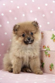 JD-20407 Dog. Pomeranian puppy (10 weeks old) with pink suitcase