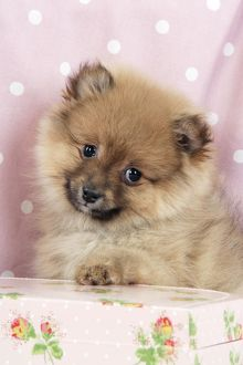 JD-20408 Dog. Pomeranian puppy (10 weeks old) with pink suitcase