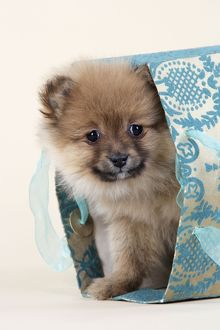 JD-20409 Dog. Pomeranian puppy (10 weeks old) in blue bag