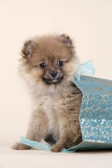 JD-20410 Dog. Pomeranian puppy (10 weeks old) in blue bag