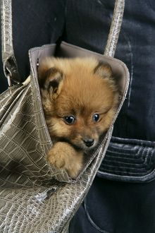 JD-20411 Dog. Pomeranian puppy (10 weeks old) in handbag