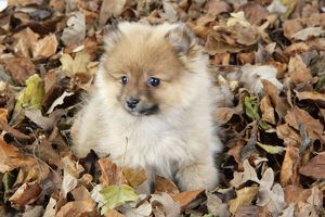JD-20412 Dog. Pomeranian puppy (10 weeks old) sitting on fallen leaves