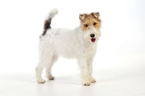 JD-20618 Dog. Wire Fox Terrier