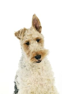 JD-20621 Dog. Wire Fox Terrier
