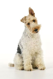 JD-20622 Dog. Wire Fox Terrier