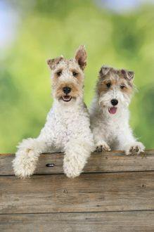 JD-20626 Dog. Wire Fox Terriers looking over wooden fence