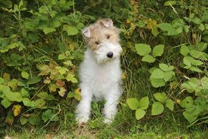 JD-20627 Dog. Wire Fox Terrier