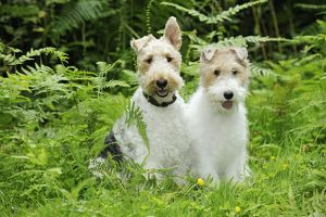 JD-20629 Dog. Wire Fox Terriers