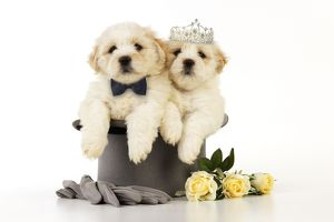 JD-20642-M Dog. White teddy bear puppies sitting in a top hat wearing a bow tie & tiara.
