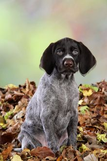 JD-20712 German Wire-Haired Pointer Dog - puppy (8 weeks old) sitting in leaves