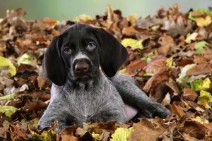 JD-20713 German Wire-Haired Pointer Dog - puppy (8 weeks old) sitting in leaves