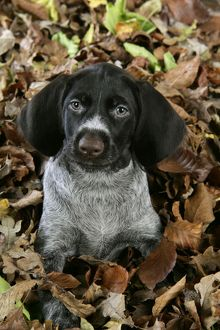 JD-20714 German Wire-Haired Pointer Dog - puppy (8 weeks old) in leaves