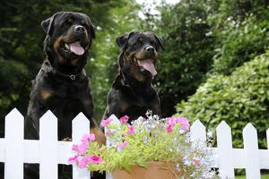 JD-20718 Dog - Rottweilers looking over fence