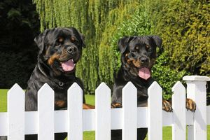 JD-20719 Dog - Rottweilers looking over fence