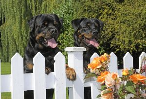 JD-20720-C Dog - Rottweilers looking over fence