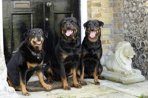 JD-20722 Dog - Rottweilers sitting by door