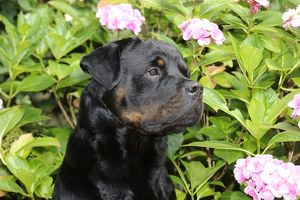 JD-20733 Dog - Rottweiler in front of pink flowers