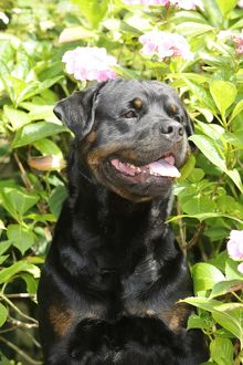 JD-20734 Dog - Rottweiler in front of pink flowers