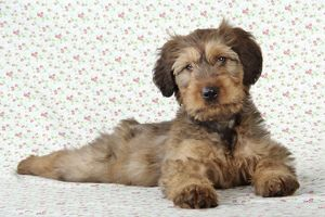 JD-20754 Briard Dog - puppy lying down with flower background
